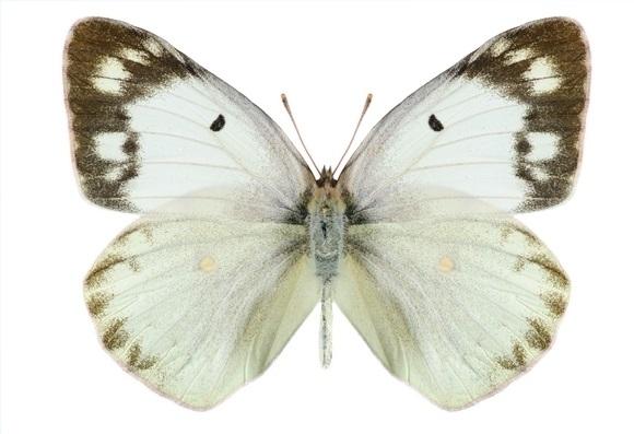 Colias-polyographus-Motschulsky-1860-Zheltushka-klevernaya