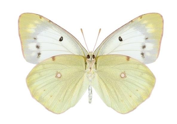 Colias-polyographus-Motschulsky-1860-Zheltushka-klevernaya1.jpg