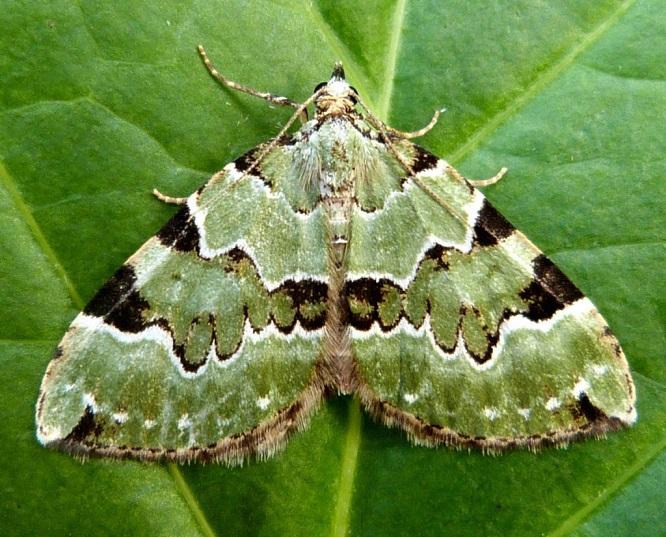 Colostygia-pectinataria-Pyadenica-zelenopolosaya
