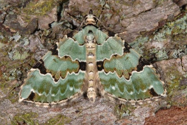 Colostygia-pectinataria-Pyadenica-zelenopolosaya1.jpg
