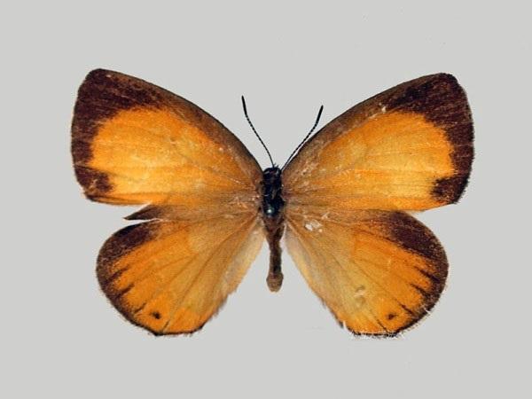 Coreana-raphaelis-Oberthur-1880-Zefir-Rafaelya1.jpg