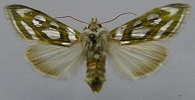 Cucullia-argentea-Kapiushonnitca-serebristo-piatnistaia