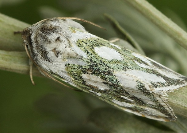 Cucullia-argentea-Kapiushonnitca-serebristo-piatnistaia1.jpg