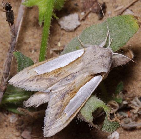 Cucullia-argentina-Kapiushonnitca-serebristaia