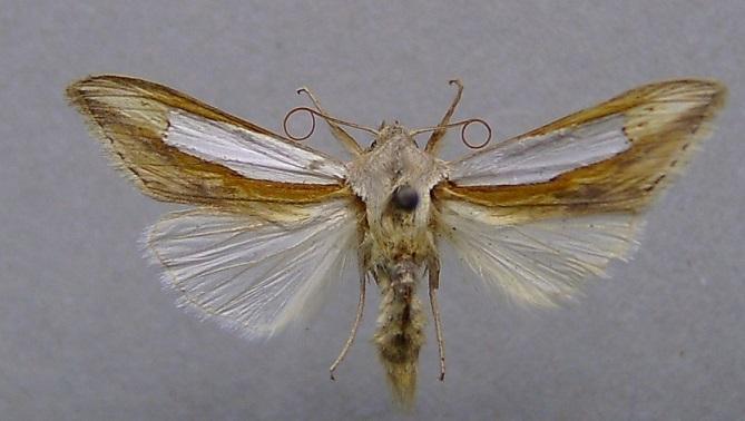 Cucullia-argentina-Kapiushonnitca-serebristaia1.jpg
