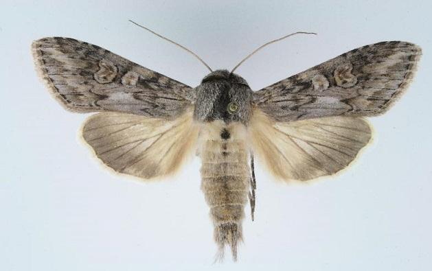 Cucullia-artemisiae-Kapiushonnitca-polynnaia