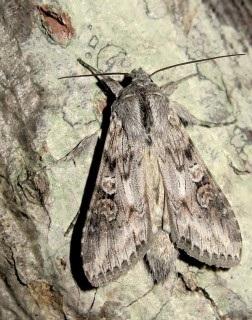 Cucullia-artemisiae-Kapiushonnitca-polynnaia1.jpg