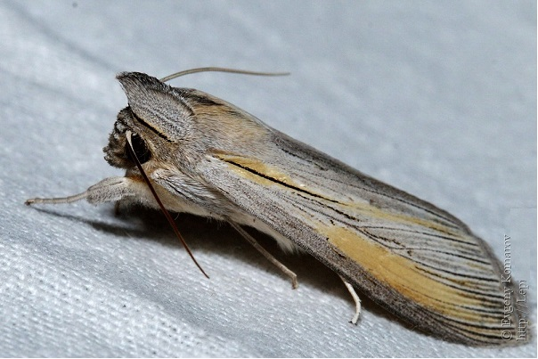Cucullia-biornata-Kapiushonnitca-ukrashennaia