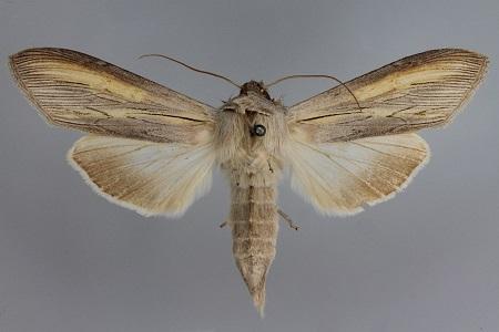 Cucullia-biornata-Kapiushonnitca-ukrashennaia1.jpg