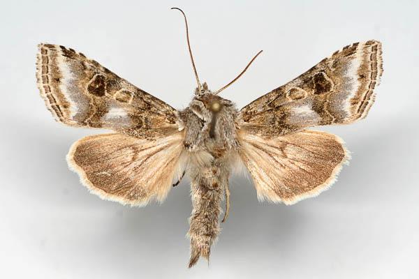Cucullia-propinqua-Kapiushonnitca-shelkovistopolynnaia1.jpg
