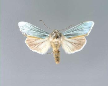 Cucullia-splendid-Kapushonnica-blestyaschaya1.png