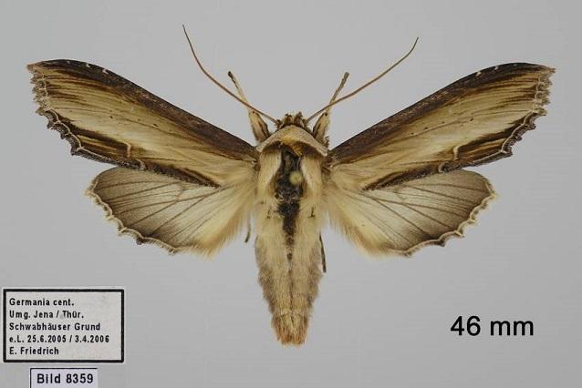 Cucullia-verbasci-Kapiushonnitca-koroviakovaia