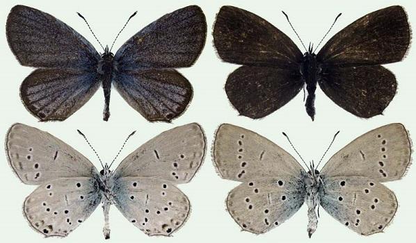 Cupido-decoloratus-Staudinger-1886-Golubyanka-bleklaya
