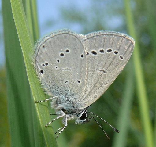 Cupido-minimus-Fuessly-1775-Golubyanka-karlikovaya