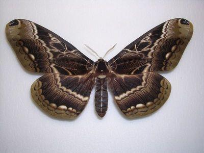 Dactyloceras_lucina-Daktiloceras_lucina1.jpg