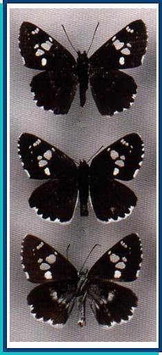 Daimio-tethys-Tolstogolovka-Tefida1.jpg