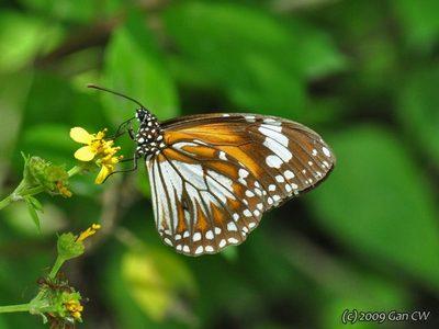 Danaus-affinis.jpg