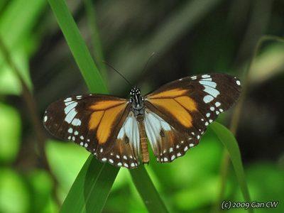 Danaus-affinis1.jpg