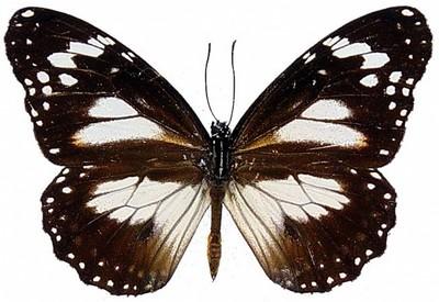 Danaus-affinis2.jpg