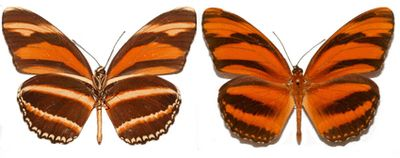 Dryadula-phaetusa-Gelikonida-fetuza.jpg