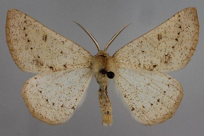 Dyscia-conspersaria-Pyadenica-tochechnaya-polynnaya1.jpg