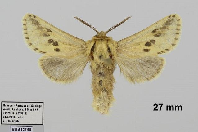 Dyspessa-salicicola-Tochilo-ivovyi1.jpg
