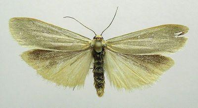 Eilema-pygmaeola-Lishainica-blednolobaya.jpg