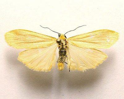 Eilema-sororcula-Lishainica-zolotistaya.jpg