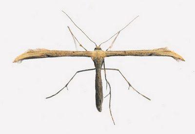 Emmelina-monodactyla-Palcekrylka-odnopalaya.jpg