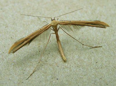 Emmelina-monodactyla-Palcekrylka-odnopalaya1.jpg