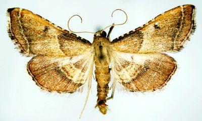 Endotricha-flammealis-Ognevka-plamennaya.jpg