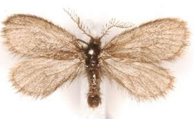 Epichnopterix-crimaeana-Meshochnica-krymskaya.jpg