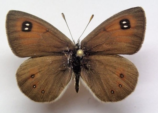 Erebia-callias-Edwards-1871-Chernushka-golcovaya