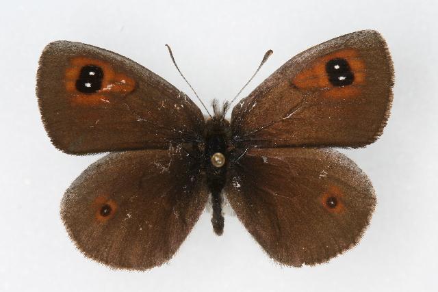 Erebia-callias-Edwards-1871-Chernushka-golcovaya1.jpg