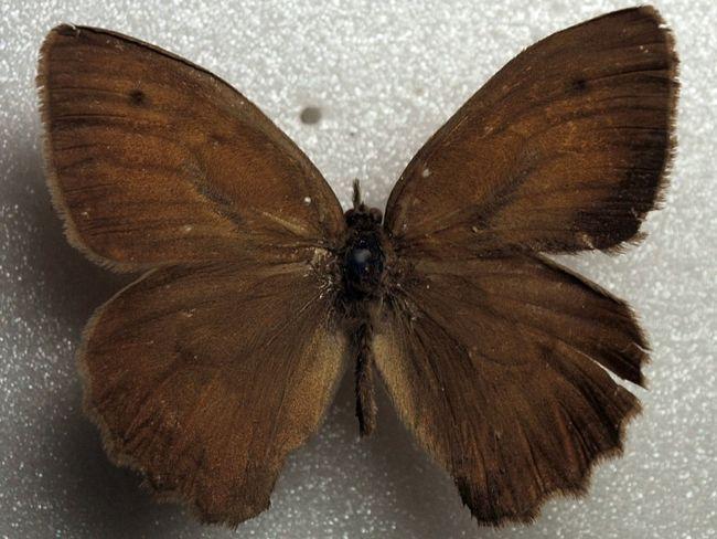 Erebia-discoidalis-Kirby-1837-Chernushka-kruglokrylaya