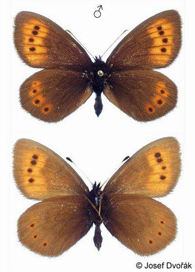 Erebia-epiphron-Chernushka-Epifron2.jpg