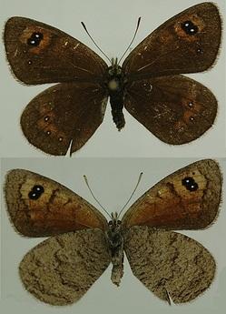 Erebia-graucasica-Jachontov-1909-Chernushka-kavkazskaya1.jpg