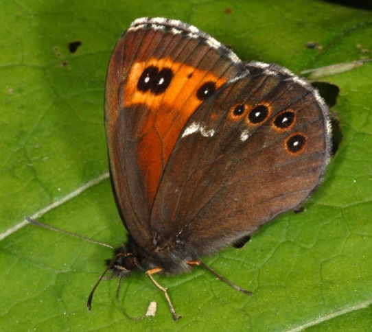 Erebia-ligea-Linnaeus-1758-Chernushka-ligeya