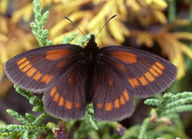 Erebia-maurisius-Esper-1803-Chernushka-mavr