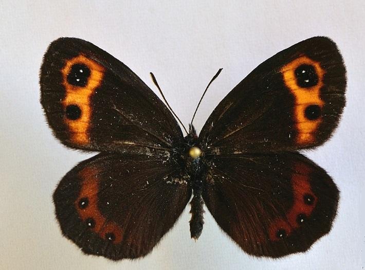 Erebia-neriene-Boeber-1809-Chernushka-neriena1.jpg