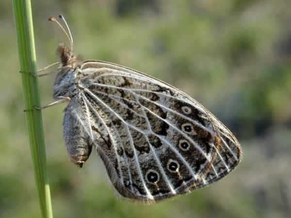 Erebia-parmenio-15-Boeberia-parmenio-Bober-1809-Barhatnica-parmenio
