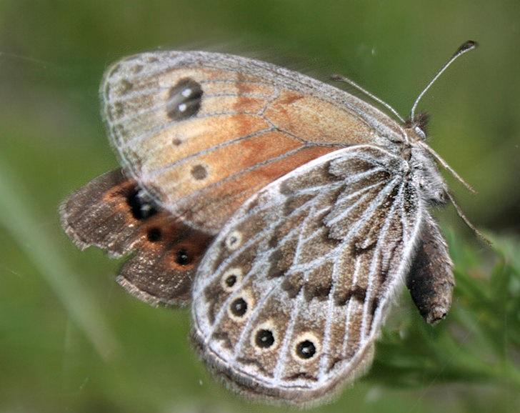 Erebia-parmenio-15-Boeberia-parmenio-Bober-1809-Barhatnica-parmenio1.jpg