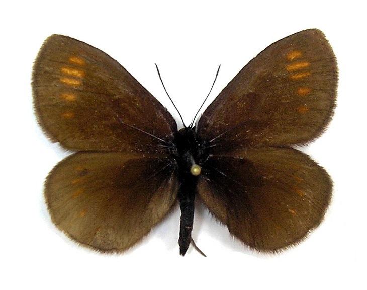 Erebia-pawlowskii-Menetries-1859-Chernushka-Pavlovskogo1.jpg