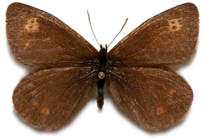 Erebia-rossii-Curtis-1834-Chernushka-Rossa1.jpg