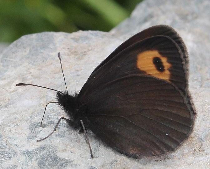 Erebia-scoparia-Butler-1881
