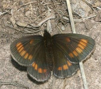 Erebia_niphonica1.JPG