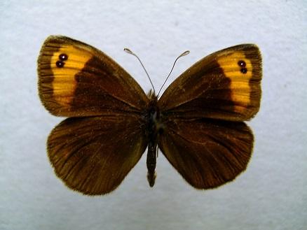 Erebia_niphonica3.JPG