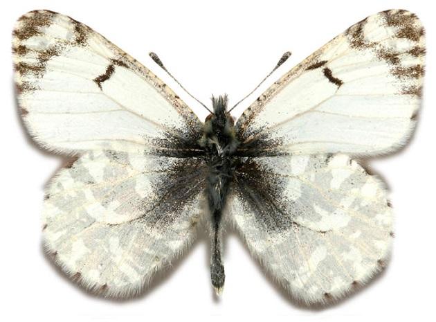 Euchloe-creusa-Doubleday-1847-Zorka-kreusa1.jpg