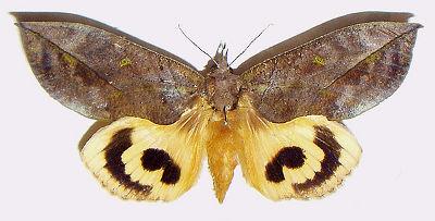 Eudocima-(Ophideres)-tyrannus-sovka-amurskaya-zmeinaya.jpg