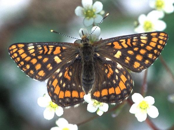 Euphydryas-intermedia-Shashechnica-promezhutochnaya